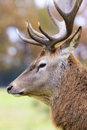 brooding: Portrait of deer stag in forest landscape
