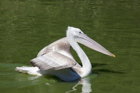 White pelican swimming on a lake photo