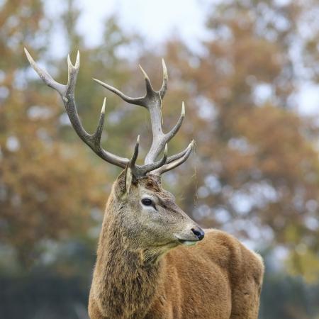 elaphus: Beautiful portrait of deer in forest  Stock Photo
