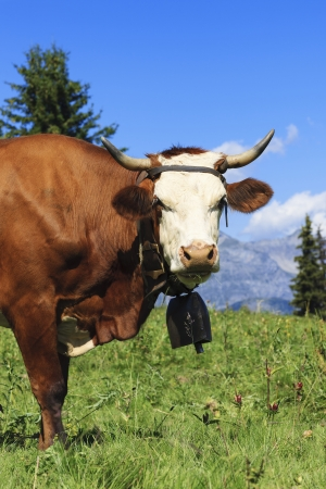 beautiful cow: Beautiful cow in french alps landscape Stock Photo