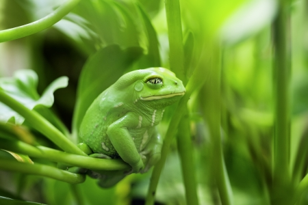crazy frog: view of Monkey Tree Frog