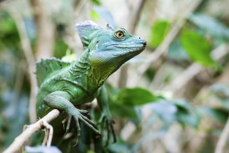 vittatus: Close up of Green Basilisk Lizard