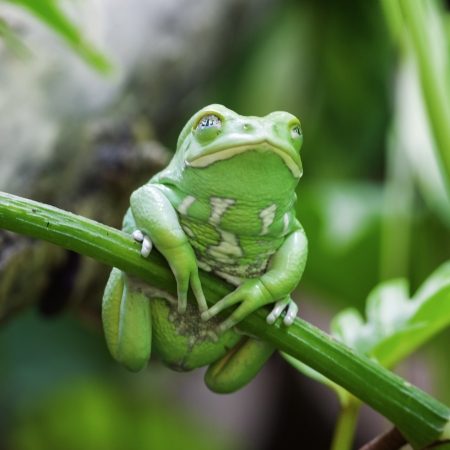 crazy frog: Green monkey frog in forest