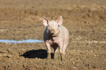 landrace: pig on the farm