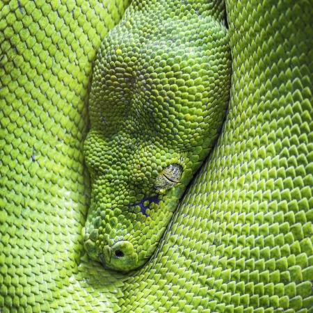 vivarium: Eye of green tree python Stock Photo