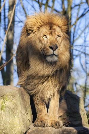lion king: The most beautiful lion