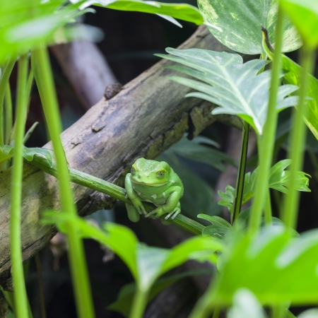 crazy frog: View of Green monkey frog in forest Stock Photo