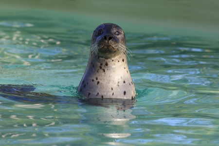 Head of cute swimming seal photo