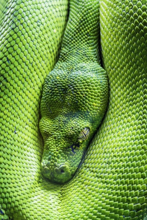 View of green tree python eye
