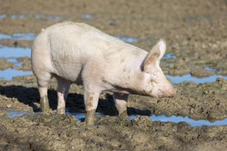 landrace: big pig on the farm  Stock Photo