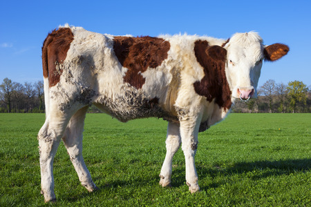 White and brown cow on green grass with blue sky photo