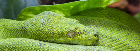 vivarium: Panoramic view of green python Stock Photo