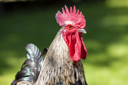 farmyard: Portrait of cock in the spring Stock Photo