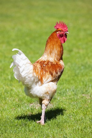 farmyard: Beautiful cock on green grass
