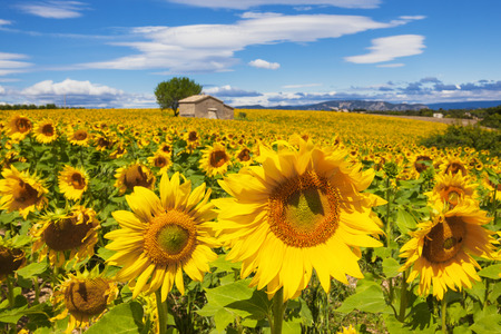 Beautiful landscape with sunflower field over cloudy blue sky photo