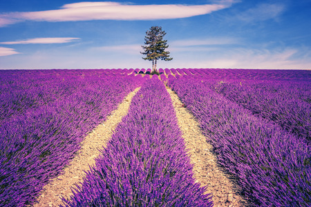 lavendin: Lavender field and tree in Provence at sunset, France
