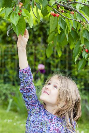 bing: little girl picking a cherry in the garden Stock Photo