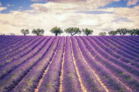 Beautiful Lavender field with cloudy sky, France, Europe