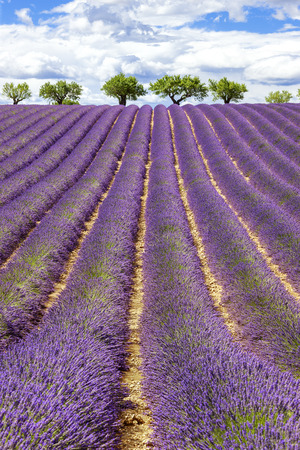 lavendin: Vertical view of lavender field with cloudy sky, France, Europe
