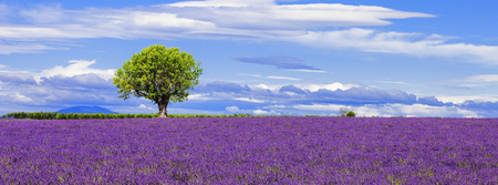 lavande: Panoramic view of lavender field with tree, France. Stock Photo