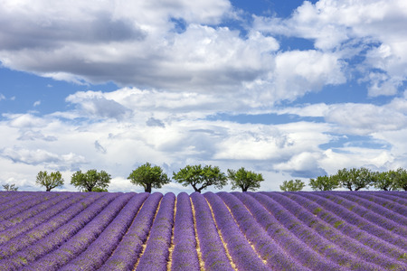 lavendin: Horizontal view of lavender field, France, Europe