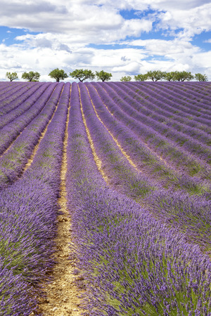 lavender field: Vertical view of lavender field, France, Europe