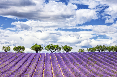 View of lavender field, France, Europe 스톡 콘텐츠