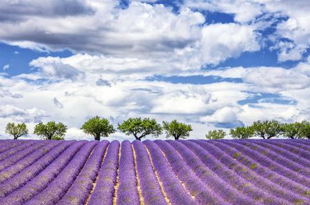 View of lavender field, France, Europe Archivio Fotografico