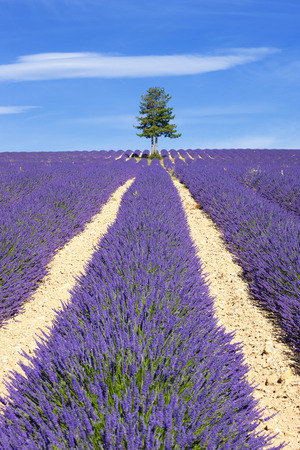 lavendin: Lavender field with tree in Provence, France Stock Photo