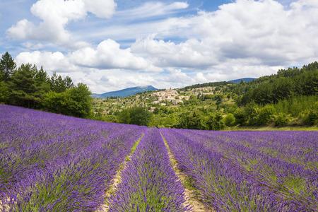 flor de lavanda: Campo de la lavanda y el pueblo, Francia.