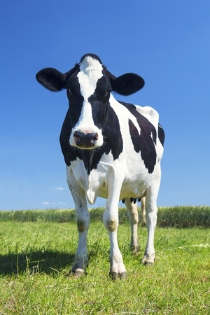 cow in the green grass and blue sky