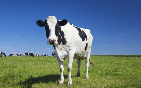Portrait of cow on green grass with blue sky