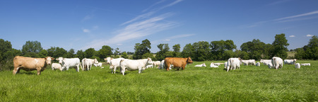 green grass: Panoramic view of cows on green grass. Stock Photo