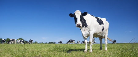 Panoramic view of black and white cow on green grass. Banco de Imagens - 44631905