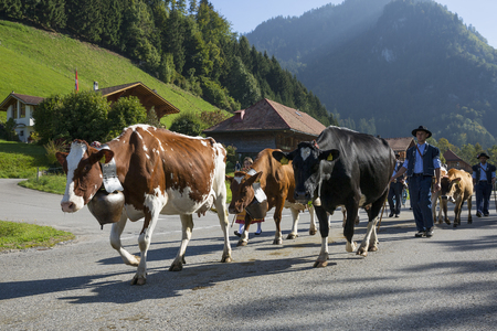 swiss alps: CHARMEY, SWITZERLAND - SEPTEMBER 26, 2015: cows on the annual transhumance at Charmey on the Swiss alps. Publikacyjne