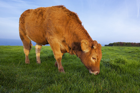 grazing: Portrait of grazing cow in Normandy, France. Stock Photo