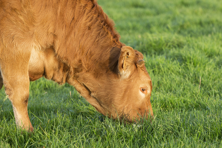 pasturage: View of grazing cow in Normandy, France. Stock Photo