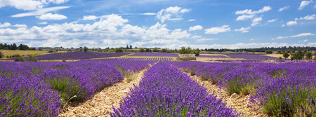 blue clouds: Panoramic view of lavender field and cloudy sky, France