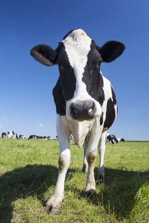 grass and sky: Portrait of black and white cow on green grass and blue sky
