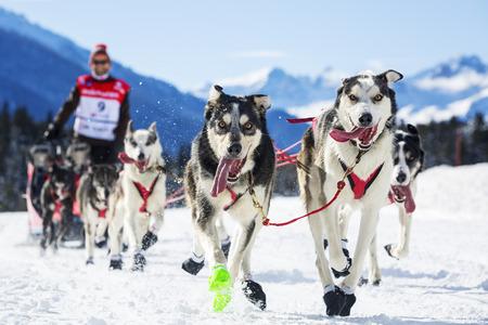 sled dog: musher hiding behind sleigh at sled dog race on snow