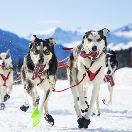 sled dogs: sled dog race on snow