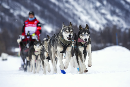 dog sled: Sled dog race on snow in France, Europe.