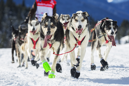 dog sled: View of sled dog race on snow in France