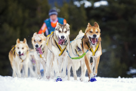 mushing: sled dog race on snow in France