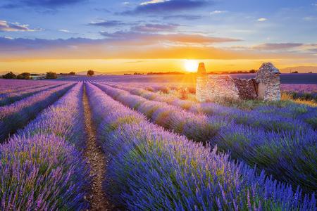 Sun은 Valensole에 출원 된 아름다운 보라색 라벤더를 세팅하고 있습니다. 프랑스 프로방스