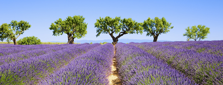 lavender field: lavender fields of the French Provence, panoramic view