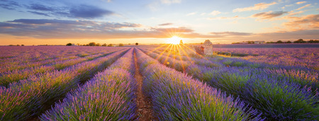 Panoramic view of lavender filed in Valensole. Provence, France 스톡 콘텐츠