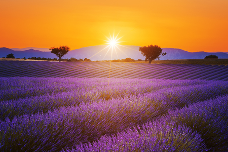 Lavender field summer sunset landscape with two tree near Valensole.Provence,France Stock Photo