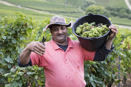 diligente: Pouilly, FRANCIA - 20 de septiembre, 2016. El hombre cosecha de las uvas durante la cosecha en Pouilly el 20 de septiembre de 2016. Editorial