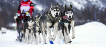 mushing: Sled dog race on snow in France, Europe.